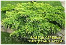 """Саженцы можжевельника среднего пфитцериана """"AUREA"""" (ЗКС) 3г."""