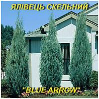 """Саженцы можжевельника Скального """"Blue Arrow"""" (ЗКС) 3 г."""