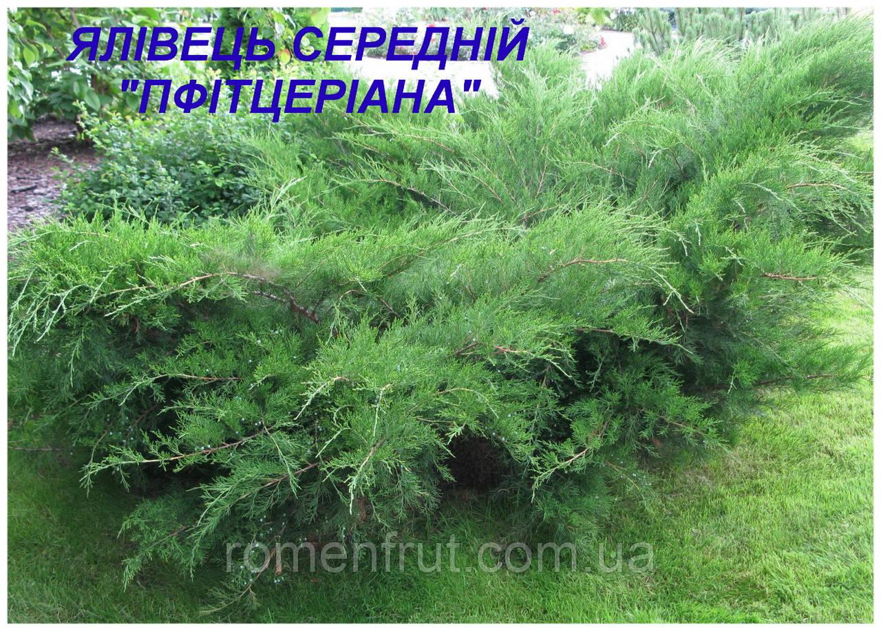 Саженцы можжевельника среднего пфитцериана (ЗКС) 3г.