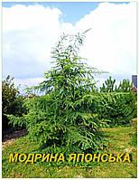Саженцы лиственницы японской (ЗКС) 2 г.