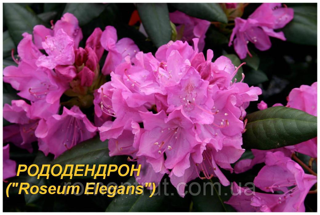 """Саженцы Рододендрона """"Roseum Elegans"""" (ЗКС)"""