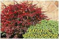 Саженцы Барбариса краснолисного (ЗКС) 2 г.