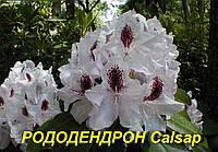 """Саженцы Рододендрона """"Calsap"""" (ЗКС)"""