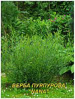 "Саженцы Ивы пурпурной ""Nana"" (ЗКС) 4 р."