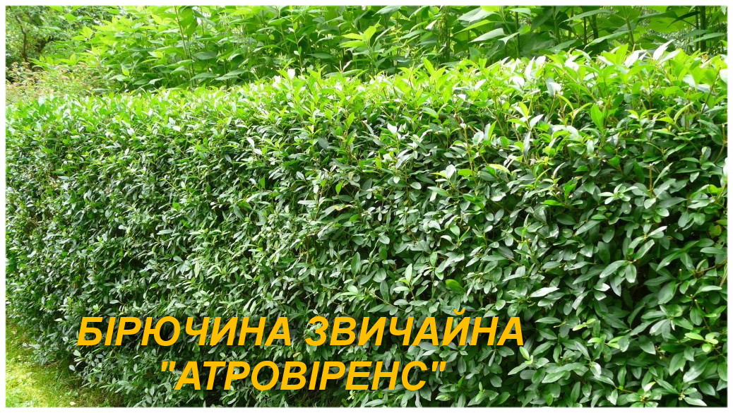 """Саженцы Бирючины """"Атровиренс"""" (ЗКС) 2 г."""
