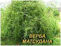 Саженцы Ивы Мацудана (ЗКС) 4 г.