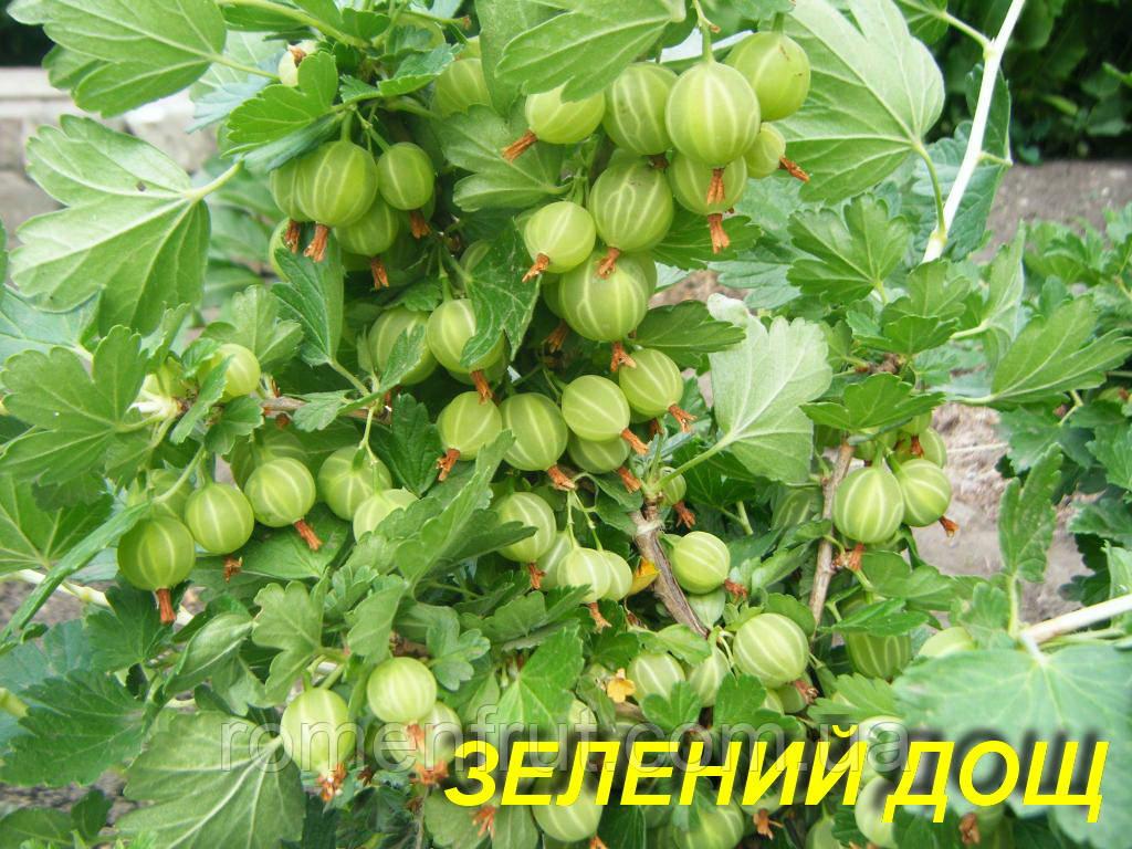 """Саженцы крыжовника """"Зеленый дождь"""" (ЗКС) 2 года"""