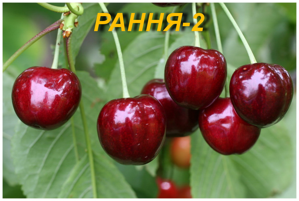 "Саженцы вишни ""Ранняя-2"""