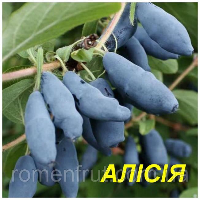 """Саженцы жимолости """"Алисия"""" (ЗКС)"""