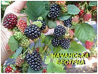 """Саженцы Ежевики """"Чачанская Бэстрна"""" (ЗКС) 3 г."""