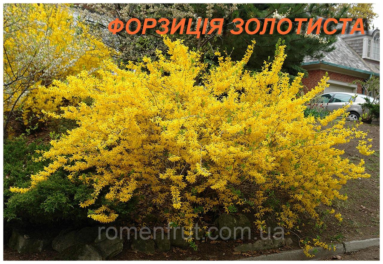 Саженцы форзиции золотистой (ЗКС) 2 г.