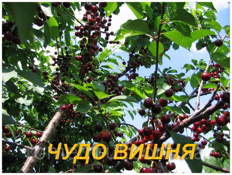 """Саженцы вишни """"Чудо-вишня"""" (ЗКС) 2г."""