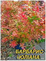 "Саженцы Барбариса ""Юлиана""  (ЗКС) 2 г."