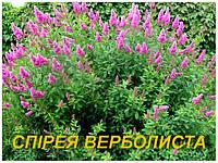 Саженцы спиреи иволистой 2 г.