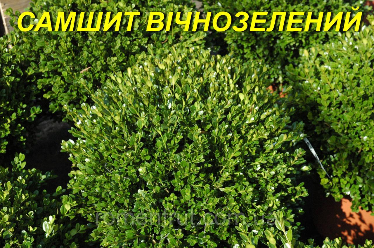 Саженцы самшита вечнозеленого (ЗКС) 2 г.