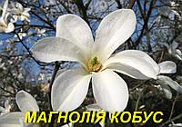 Саженцы Магнолии Кобус (ЗКС)