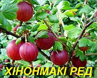 """Саженцы крыжовника """"Хинномаки Рэд"""" (ЗКС) 2 года"""