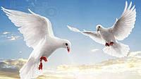Продам белых  голубей для торжества