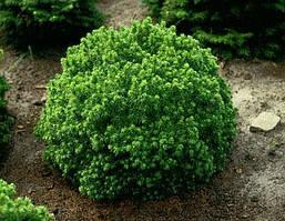 Ялина канадська Alberta Globe 4 річна, Ель канадская Альберта Глобе, Picea glauca Alberta Globe, фото 2