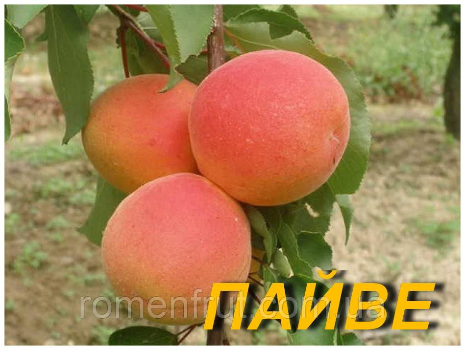 """Саженцы абрикоса """"Пайве"""""""