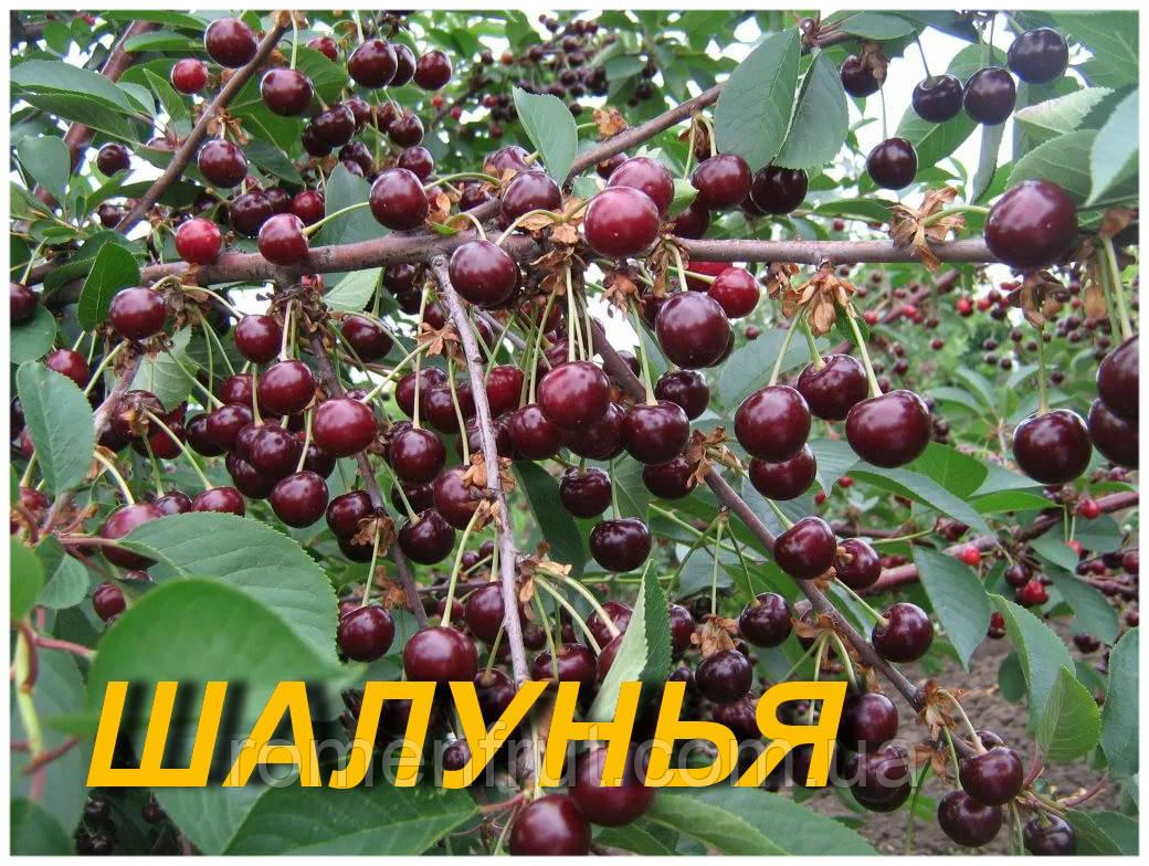 """Саженцы вишни """"Шалунья"""""""