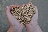 Аэродинамический зерновой сепаратор САД-10 - очистка зерна, фото 4