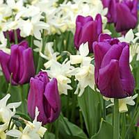 Арт-набор Император (тюльпаны, нарциссы) 6 луковиц в наборе
