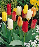 Смесь суперранних тюльпанов 9 луковиц
