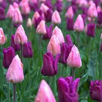 Смесь Пастель 9 луковиц тюльпанов