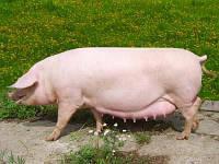 Премикс для свиноматок 3% Шенкон