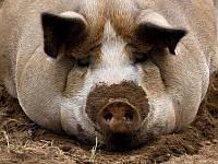 Премикс Рост для Свиней  AMINO 2,5%