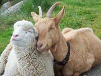 Премикс для Коз и Овец  2,5% овцы, козы