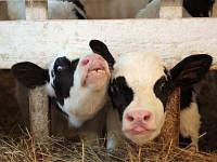 """Премикс """"Шенмикс Ков Милк """" высокопроизводительные дойные коровы"""