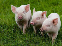 """Премикс """"ШенМикс Пиг Фат"""" 1% (откорм свиней от 40 до 120 кг)"""