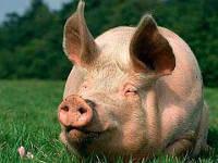 "Премикс для свиней ""ШенМикс Пиг Фат"" 0,5% (откорм свиней от 40 до 120 кг)"