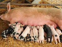 """БВМД для Свиноматок """"GP"""" 10-15% (супоросные и лактирующие свиноматки)"""