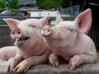 БВМД  15-10% Универсальный Гровер Финиш для Свиней