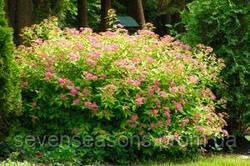 Декоративные растения: Спирея в саду