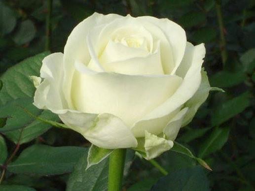 Саженцы чайно-гибридной розы Аваланж (Avalanche)