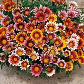 Газанія ( Gazania rigens) квіти від компанії Syngenta