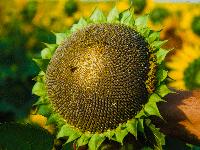 Насіння соняшника Хорнет OR+ | Aspria