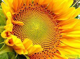 Насіння соняшнику АС 34106 | AS34106OR Aspria