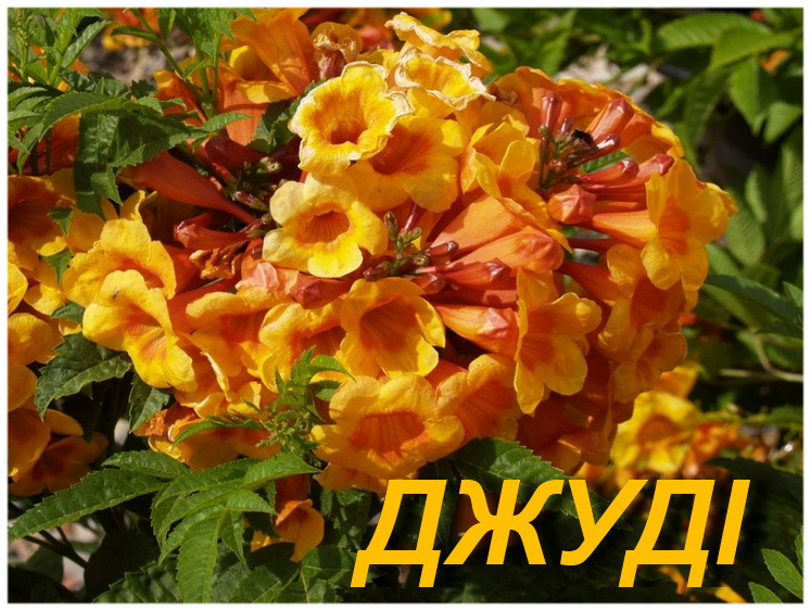 "Саженцы Кампсиса укореняющегося ""Джуди"" (ЗКС)"