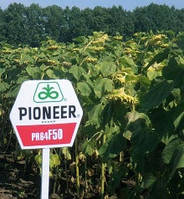 Семена подсолнечника Пионер (Pioneer) среднеранний гибрид ПР64Ф50