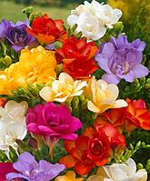 Фрезия махровая микс цветов, 10шт