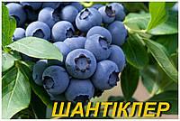 """Голубика (черника) """"Шантиклер"""" (ЗКС)"""