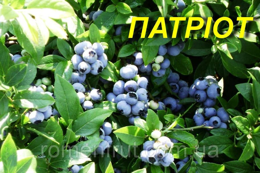 """Голубика (черника) """"Патриот"""" (ЗКС)"""