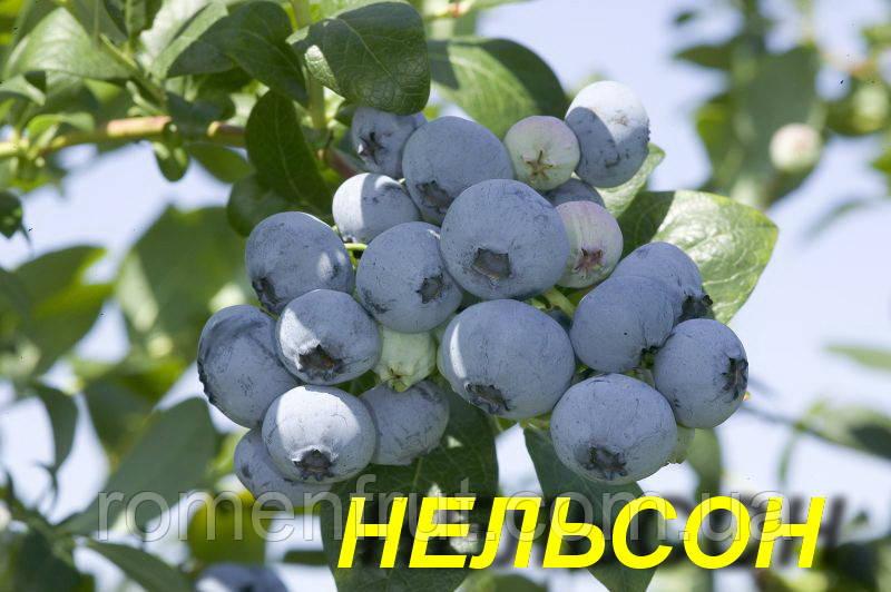 "Голубика (черника) ""Нэльсон"" (ЗКС)"