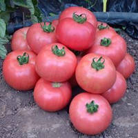 Семена томата Мануса F1 (Manusa RZ F1), 1000 сем., розового индетерминантного