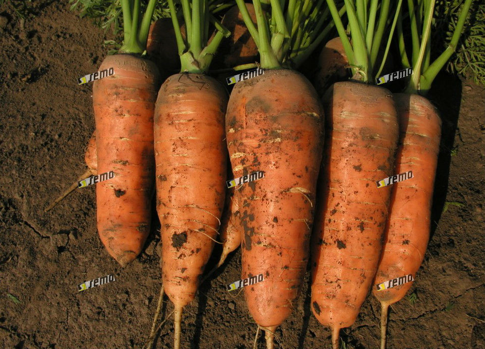 Семена моркови Шамарэ (Chamare) 500 грамм Semo
